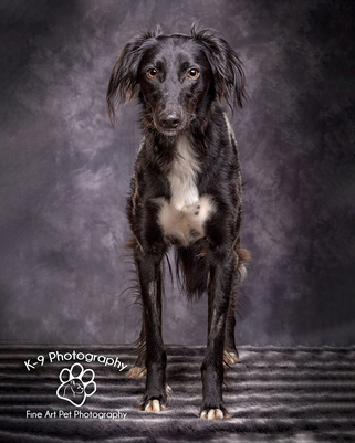 Dog Photography in Bedford | Photographed in the studio on a Brown background by professional Bedfordshire Pet photographer Adrian Bullers