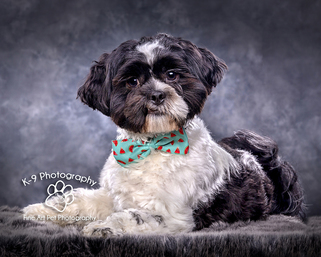 professional pet photography in Bedfordshire by Adrian Bullers | this beautiful dog was photographed in the Bedford Pet photography studio on a grey mottled background