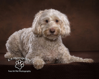 professional pet photography in Bedfordshire by Adrian Bullers | this beautiful Cockapoo was  photographed in the Bedford Pet photography studio