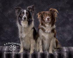 Dog and Pet Photography specialist in Bedford, Bedfordshire | pfrofessionally photographed in the studio by award winning Dog and Pet photographer Adrian Bullers
