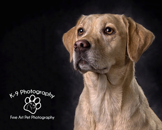 professional pet photography in Bedfordshire by Adrian Bullers | this beautiful Labrador dog was photographed in the Bedford Pet photography studio on a brown mottled background