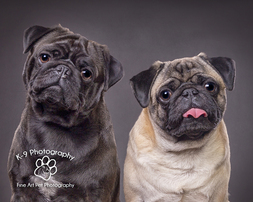 professional pet photography in Bedfordshire by Adrian Bullers | these beautiful pug dogs werephotographed in the Bedford Pet photography studio