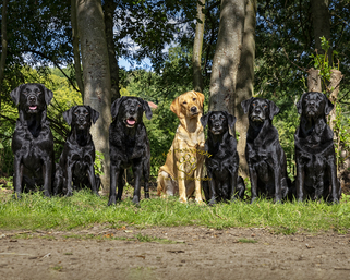 professional pet photography in Bedfordshire by Adrian Bullers | this beautiful black Labrador dog was photographed on location by award winning Pet photographer Adrian Bullers AMPA