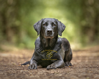professional pet photography in Bedfordshire by Adrian Bullers | this beautiful Labrador was photographed on location by Bedford Pet photographer Adrian Bullers
