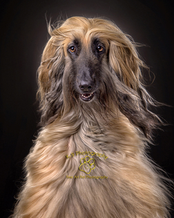 Pet Photography in Bedford | Photographed in the studio by professional Award winning Bedfordshire Pet photographer Adrian Bullers