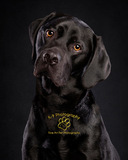 Amazing pet photography in Bedfordshire by Adrian Bullers | One of our signature Black on Black photographs by Bedfords finest Pet photography studio