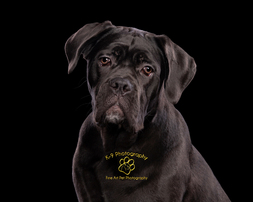 Amazing pet photography in Bedfordshire by Adrian Bullers | One of our signature Black on Black photographs by Bedfordshires finest Pet photography studio