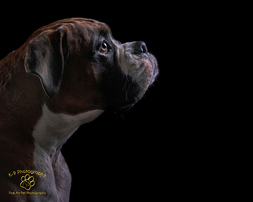professional pet photography in Bedfordshire by Adrian Bullers | this beautiful Boxer was  photographed in the Bedford Pet photography studio