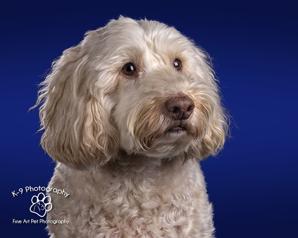 Dog and Pet Photography specialist in Bedford, Bedfordshire | A lovely cockapoo captured in the studio by award winning Dog and Pet photographer Adrian Buller