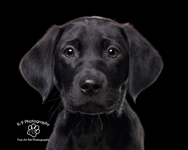 Nero Black Labrador puppy | By Bedfordshire pet photographer Adrian Bullers | lovely Black Labrador photographed on a black background